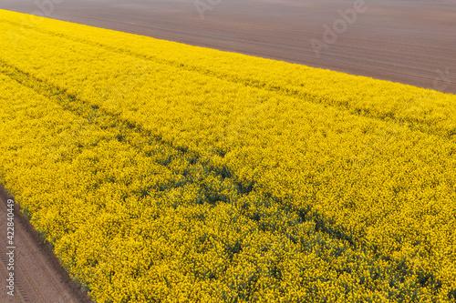 Aerial view of blooming rapeseed field
