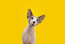 Portrait Attentive And Curios Sphynx Cat Tilting Head Side. Isolated On Yellow Background