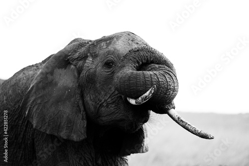 Closeup portrait of an African elephant Wallpaper Mural