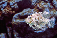 Red Lionfish Or Pterois Volitans This Indo-Pacific Reef Fish.