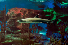 Whitetip Reef Shark Or White Tipped Reef Shark Is Family Of Carcharhinidae (requiem Sharks).