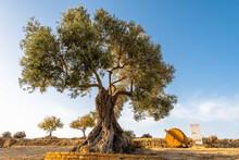 An Old Olive Tree Next To The Concordia Temple In Agrigento, Sicily