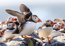 The Flock Of Puffins Are Relaxing On A Cliff Of The Farne Islands, Northumberland, UK