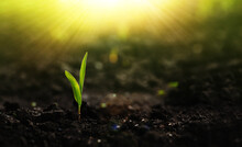 Growing Seedling Corn. New Life Young  Plant At Sunset. Save Environment Concept.