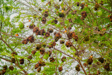 Many Small African Birds Black-headed Yellow Weaver On A Tree Near Its Nests