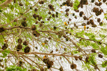 .many Small African Birds Black-headed Yellow Weaver On A Tree Near Its Nests