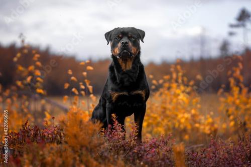 Fototapeta Rottweiler autumn obraz