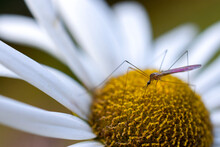 Little Mosquito On A Daisy