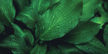 Green Foliage With Small Leaves Glistening With Raindrops.