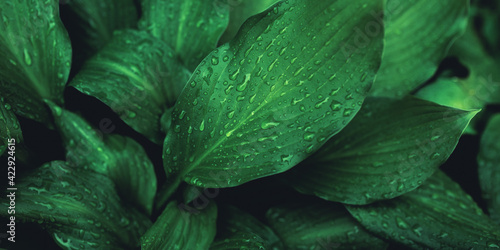 Fototapeta Green foliage with small leaves glistening with raindrops. obraz
