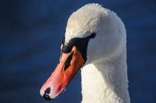 Porter Swan Mute Swan On A Blue Background