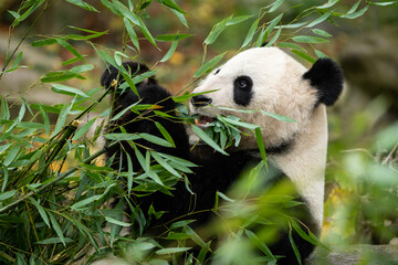 A young giant panda sitting and eating bamboo