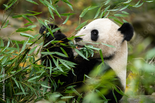 A young giant panda sitting and eating bamboo Fototapet