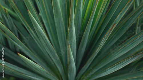 Slika na platnu Blue agave plant close up for produce teauila