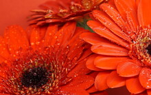 Beautiful Blooming Orange Gerbera Daisy Flowers Shining With Dew. Close-up Photo.