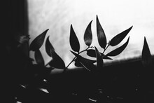 Abstract Plant Background, Silhouettes And Shadows Of Leaves In The Sun, Black And White Frame Of Plants