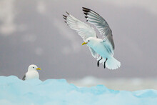 Kittiwakes Resting On The Floating Glacial Ice In The Arctic Ocean