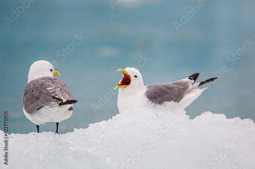 Kittiwakes resting on the floating glacial ice in the Arctic ocean Fotobehang