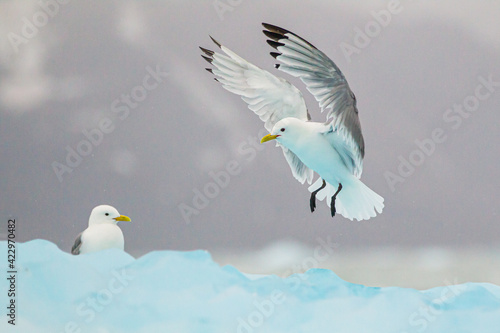 Foto Kittiwakes resting on the floating glacial ice in the Arctic ocean