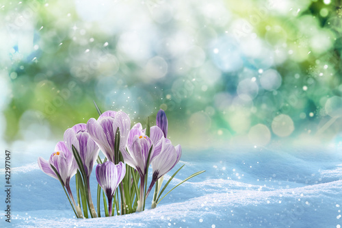 Obraz Beautiful spring crocus flowers growing through snow outdoors on sunny day, space for text - fototapety do salonu