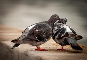 Gołębia miłość 4