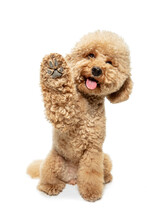Cute Puppy Of Maltipoo Dog Posing Isolated Over White Background