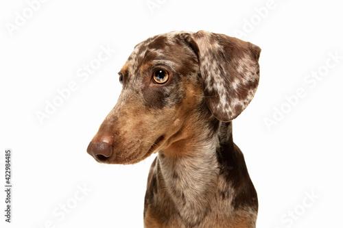 Obraz Cute puppy of Dachshund dog posing isolated over white background - fototapety do salonu