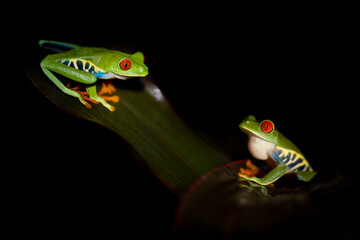 Two red eyed tree frogs resting on leafs in a night in costa rica