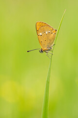 Beautiful scarce copper resting on a grass helm on a green background