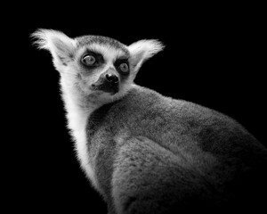 Portrait of a ringtailed lemur looking over its shoulder in a black and white image