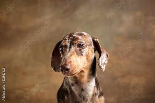 Obraz Cute puppy of Dachshund dog posing isolated over brown background - fototapety do salonu