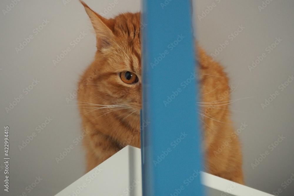 Obraz Rudy kot patrze jednym okiem przez rozdzielającą niebieską drzwi szafę   fototapeta, plakat