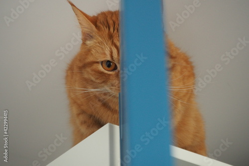 Fototapeta Rudy kot patrze jednym okiem przez rozdzielającą niebieską drzwi szafę   obraz