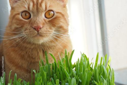 Obraz Rudy kot przy zielonej trawie - fototapety do salonu