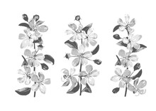 Hatched Vector Drawing Of Cherry Blossom Branches