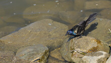 A Common Grackle Pauses Momentarily On A Large Submerged Rock By River
