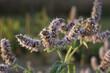 Kwitnąca mięta latem w ogrodzie