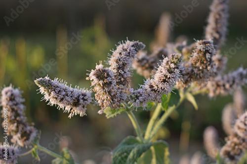 Fototapeta Kwitnąca mięta latem w ogrodzie obraz