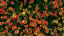 Multicolored Flower Background. Floral Wallpaper With Yellow And Orange Roses. 3D Render
