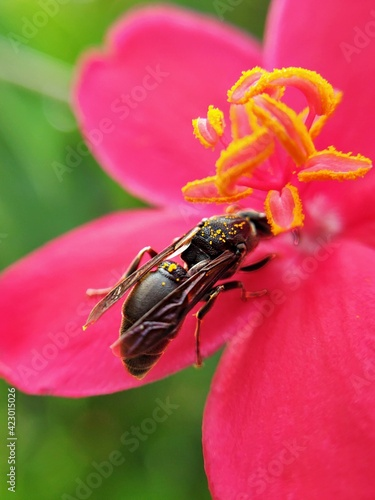Fotografie, Obraz the process of pollinating the pistil of a flower by a wasp