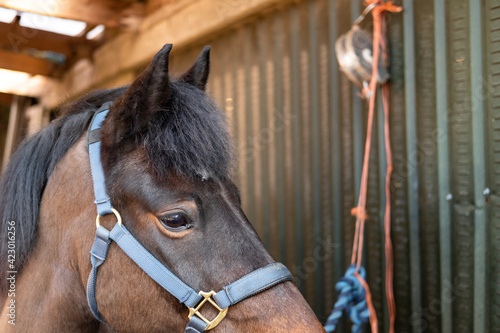 Photo New Forest Pony seen tied up in his stable area, prior to a brushing down after his exercise