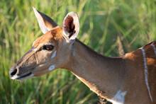 A Nyala Female Portrait Seen On A Safari In South Africa