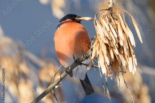 Fotografia Bullfinch