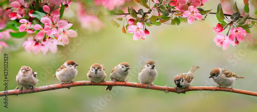 flock of small baby sparrows sits on a branch in a spring sunny garden Fototapet