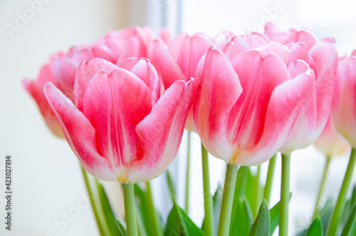 Fototapety, obrazy: Close up image of pink tulips flowers. Spring, summer romantic floral background. Beautiful bouquet of flowers.