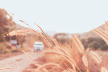 Beautiful Grass Flower In The Field With Sunset, Nature Soft Light Blur Filter And Vintage Tone, Public Road Background And Car Driving, Selective Focus.