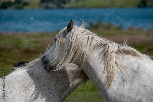 Fotografie, Tablou Beautiful white horses graze in the meadow near the lake