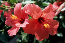 Two Red Flower Heads Of Open Hibiscus. Sunlight On Translucent Petals. Green Leaf Background