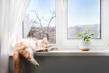White-red Fluffy Cat Sleeping On The Windowsill Of Living Room