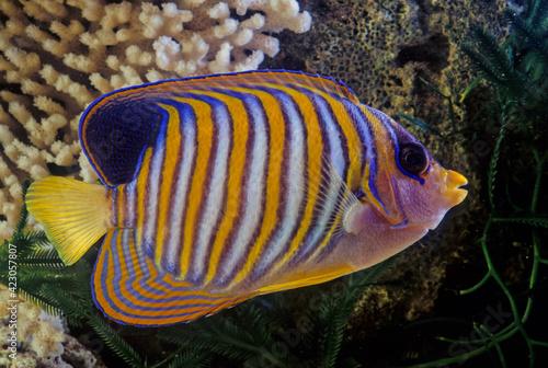 Fototapety, obrazy: Royal angelfish
